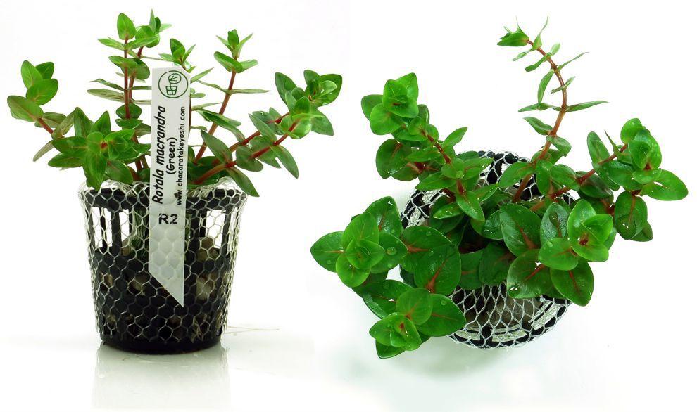 Planta Rotala macrandra (Green)