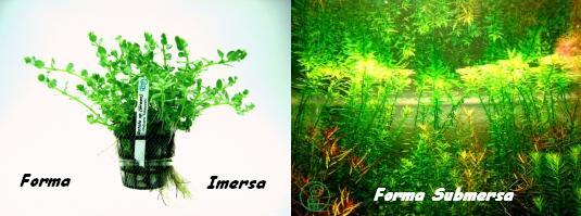 Planta Rotala sp.(Green)
