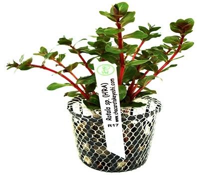 Planta Rotala sp.(H'RA)