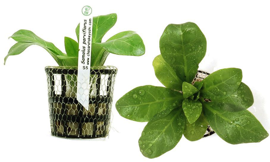 Planta Samolus parviflorus(alfacinha)