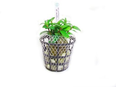 Planta Staurogyne sp.