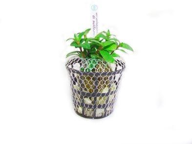 Planta Staurogyne sp. (in vitro)