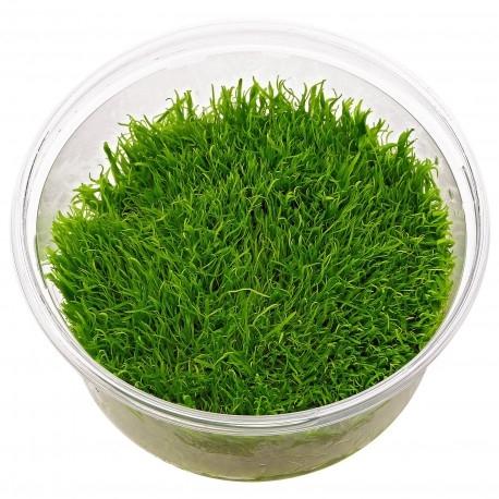 Planta Utricularia graminifolia (in vitro)