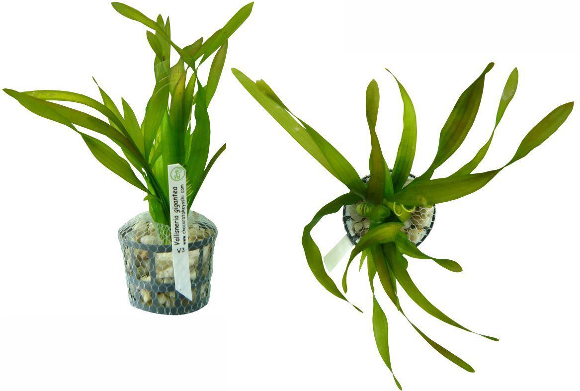 Planta Vallisneria gigantea