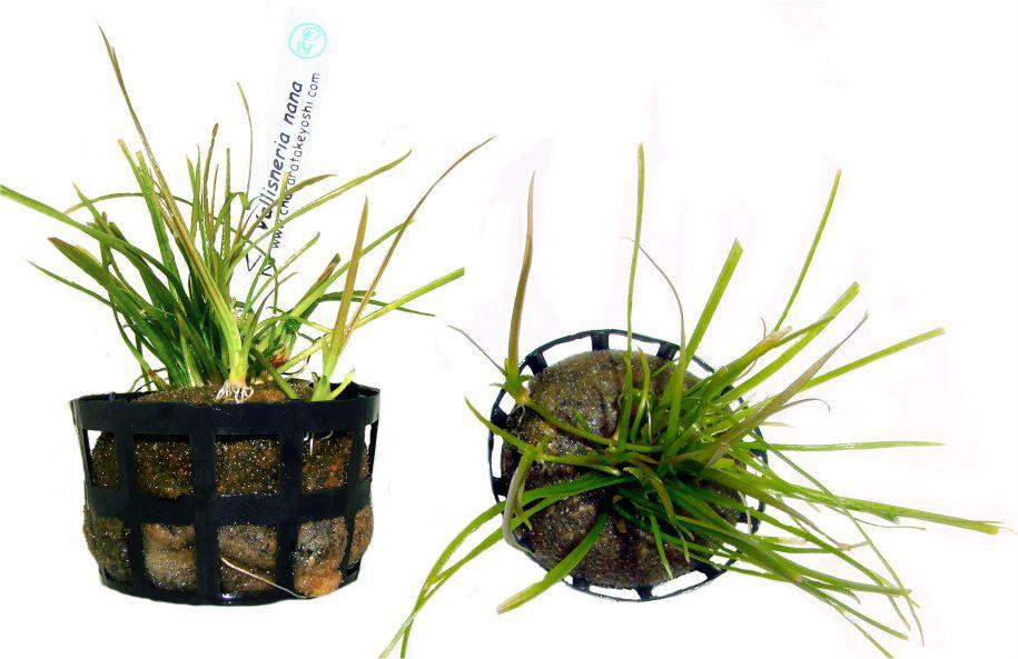 Planta Vallisneria nana
