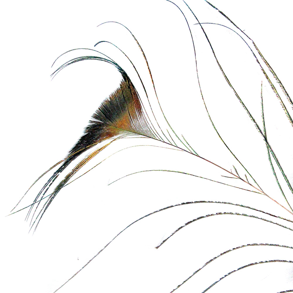 Pena de Pavão Natural Rabo de Baleia 10 Unidades - Natural